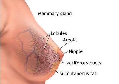 Breast Of Pregnant