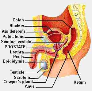 Of And Parts Functions Male Reproductive System Picture